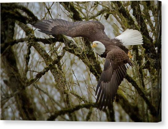 Eagle Take Off Canvas Print