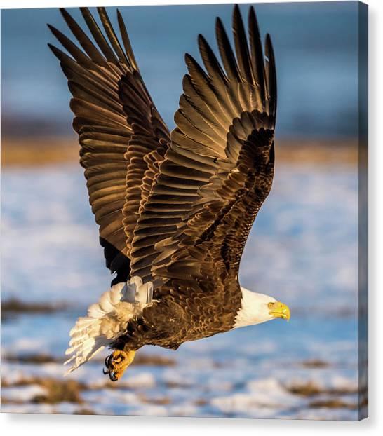 Eagle In Flight Canvas Print - Eagle Taking Off by Paul Freidlund
