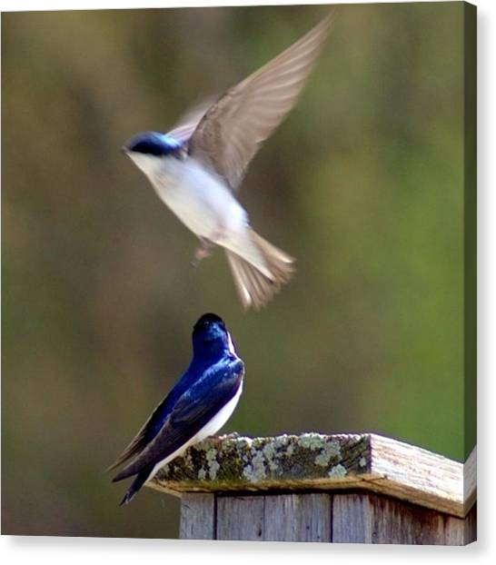 Lovebirds Canvas Print - #eaglepark #rockvillemn #inflight by Angela Ness