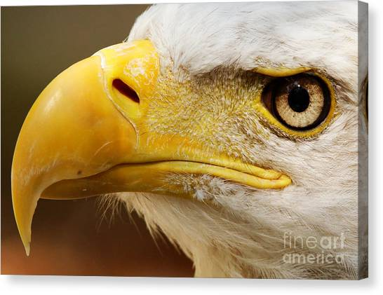 Eagles Eyes Canvas Print