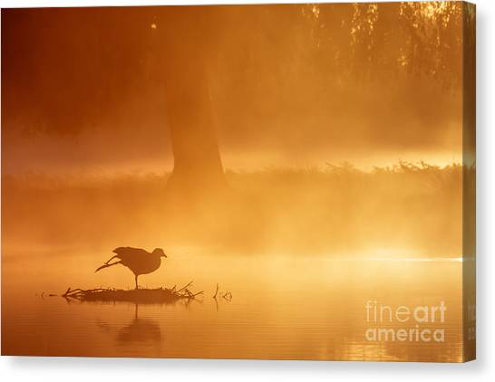 Earasian Coot At Sunrise Canvas Print