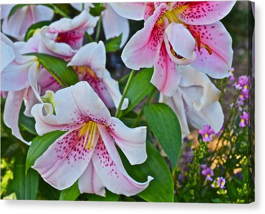 Early August Tumble Of Lilies Canvas Print
