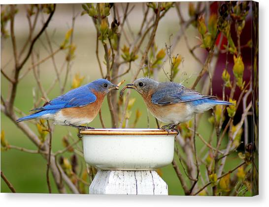 Early Bird Breakfast For Two Canvas Print