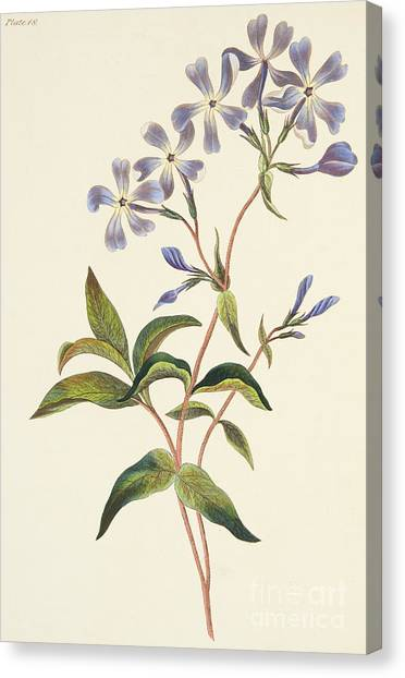 Phlox Canvas Print - Early Flowering Lychnidea by Margaret Roscoe