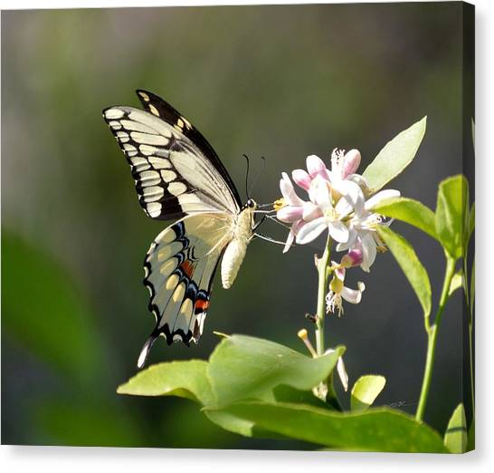 Early Lemonade Giant Butterfly Canvas Print