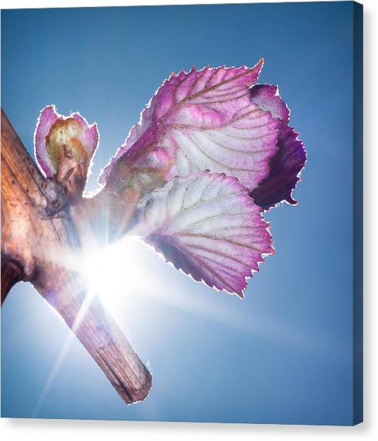 Early Morning Bud Break Canvas Print