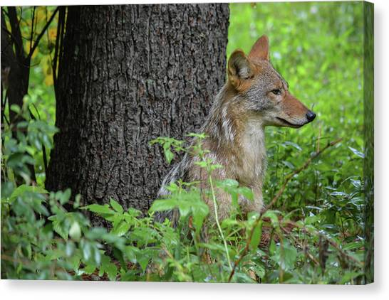 Early Morning Coyote In Maine Canvas Print