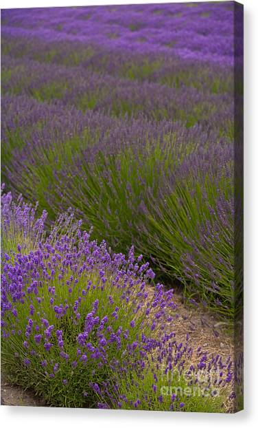 Lavendar Canvas Print - Early Morning Lavender by Mike Reid