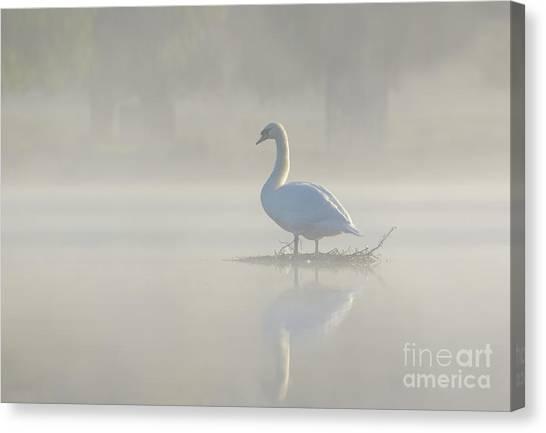 Early Morning Mute Swan - Cygnus Olor - On Serene, Misty Pond Canvas Print