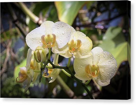 Early Morning Orchids Canvas Print