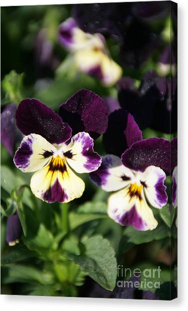 Early Morning Pansies Canvas Print