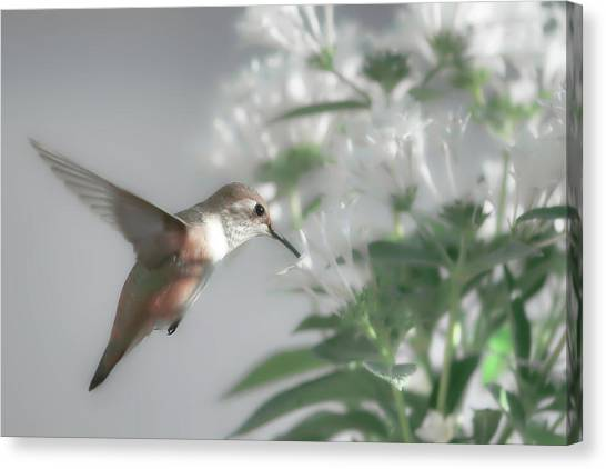 Selasphorus Canvas Print - Early Morning Rufous by Donna Kennedy