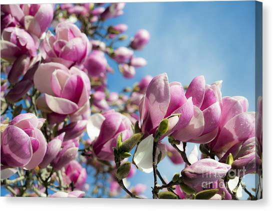 Early Spring Magnolia Canvas Print