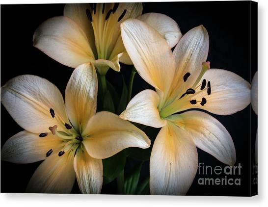 Easter Lilies  Canvas Print