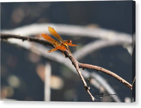 Eastern Amberwing Canvas Print