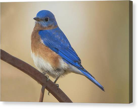 Eastern Blue Bird Male Canvas Print