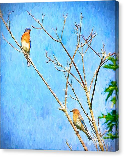 Eastern Bluebird Couple Canvas Print