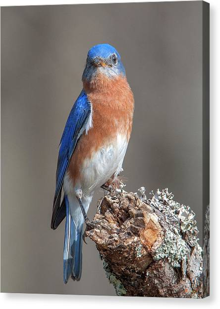 Eastern Bluebird Dsb0300 Canvas Print