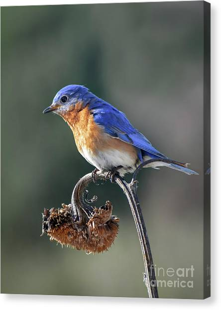 Eastern Bluebird In Spring Canvas Print