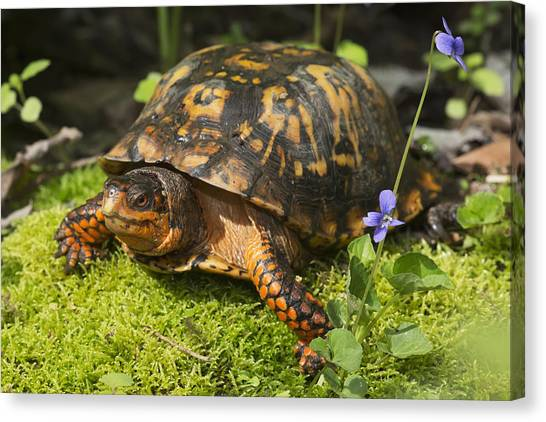 Box Turtles Canvas Print - Eastern Box Turtle On Sphagnum Moss by Lynn Stone
