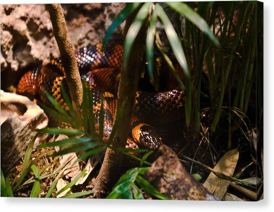 Coral Snakes Canvas Print - Eastern Coral Snake 1 by Douglas Barnett