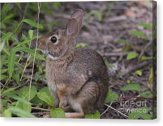 Eastern Cottontail 20120624_11a Canvas Print