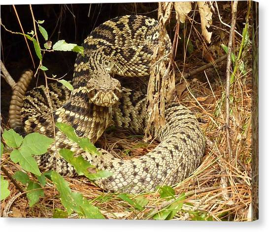 Vipers Canvas Print - Eastern Diamondback Rattlesnake by Maye Loeser