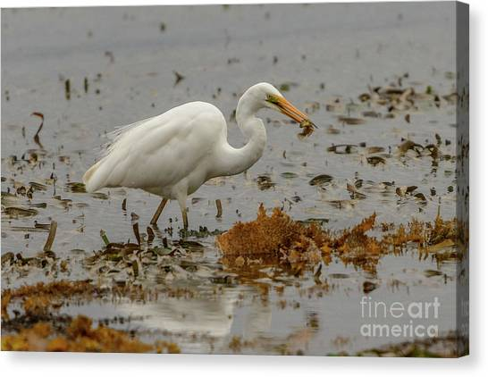 Eastern Great Egret 10 Canvas Print