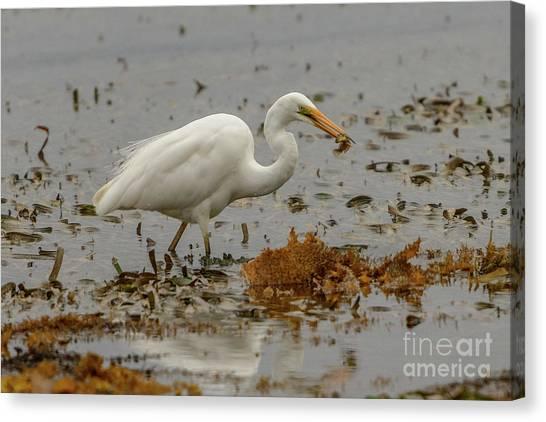 Eastern Great Egret 10 Canvas Print