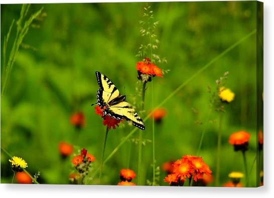Eastern Tiger Swallowtail  Canvas Print