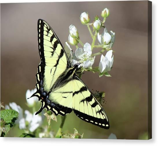 Eastern Tiger Swallowtail Female Canvas Print