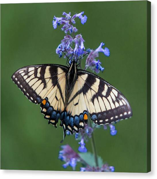 Eastern Tiger Swallowtail Wingspan Canvas Print