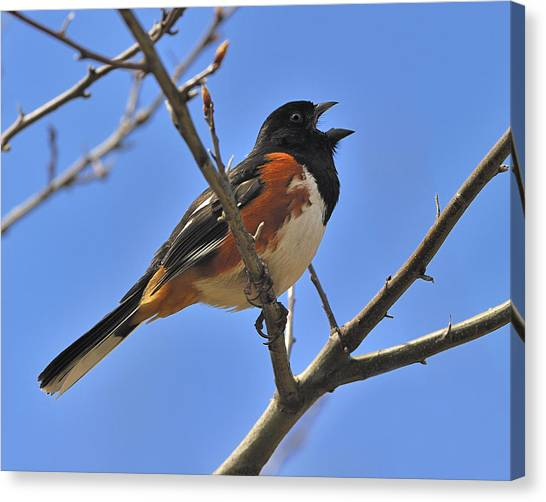 Brown Towhee Canvas Print - Eastern Towhee by Tony Beck
