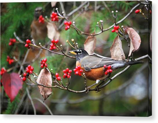 Easy Pickings Robin Canvas Print