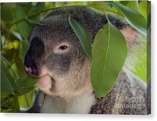 Koala Canvas Print - Eat Your Greens by Mike  Dawson