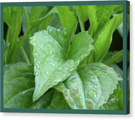Echinacea After The Rain I Canvas Print
