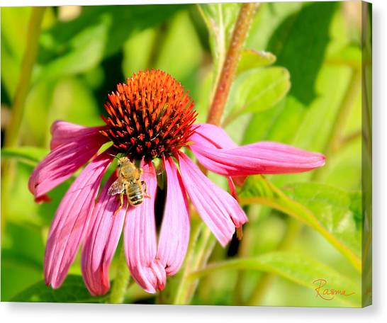 Echinacea Bee Canvas Print