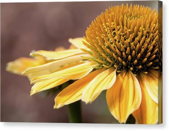 Echinacea, Cheyenne Spirit - Canvas Print