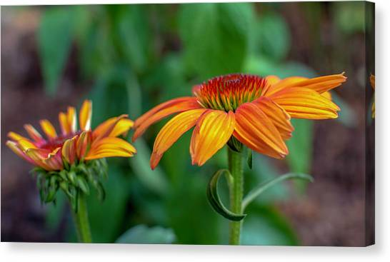 Echinacea Side View Canvas Print