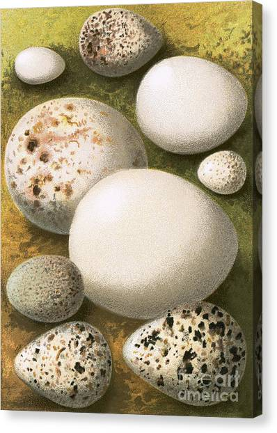 Sandpipers Canvas Print - Eggs by English School
