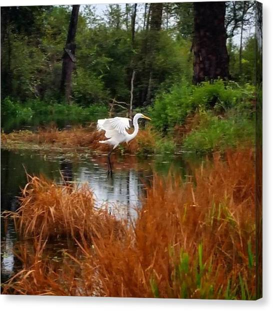 Okefenokee Canvas Print - Egret :0) #bird #egret #animal by Karen Breeze