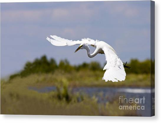 Egrets Canvas Print - Egret Ballet by Mike  Dawson