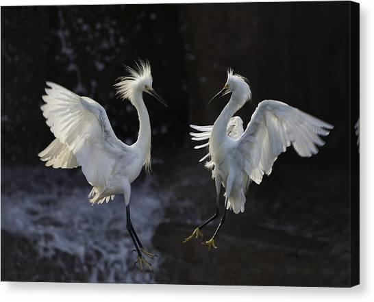 Egrets Canvas Print - Egret by C.s.tjandra