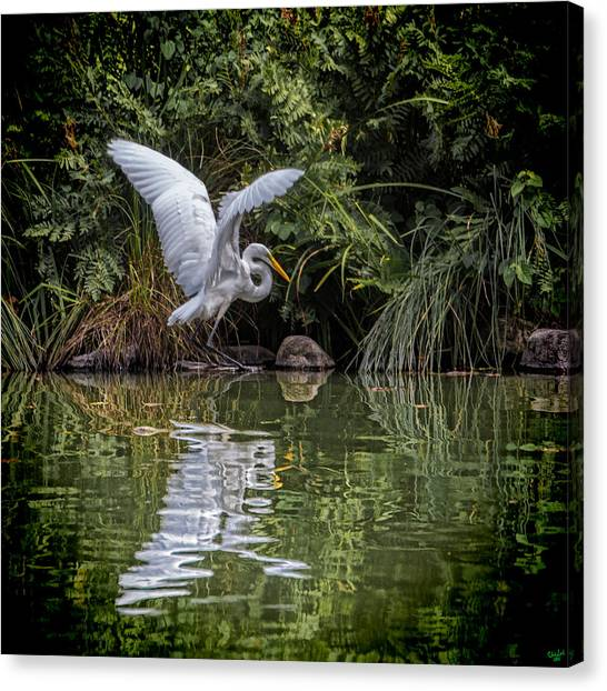 Egret Hunting For Lunch Canvas Print