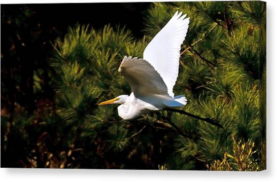 Egret In Flight 1 Canvas Print