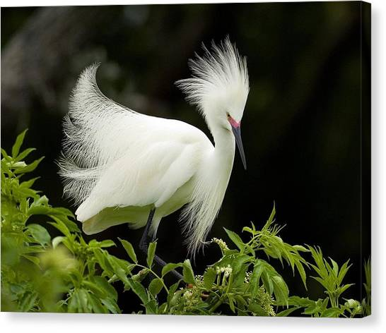 Spoonbills Canvas Print - Egret by Maye Loeser