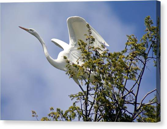Egret On Angels Wings Canvas Print