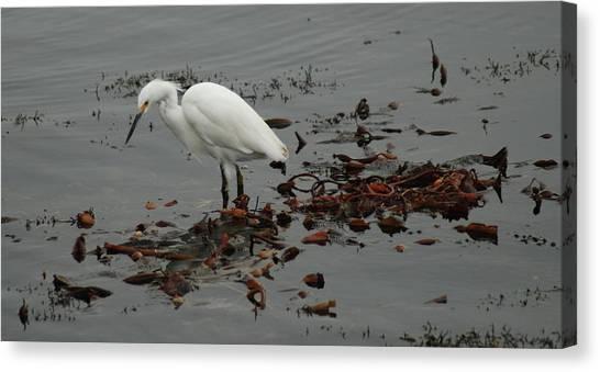 Egret On Seaweed Raft Canvas Print