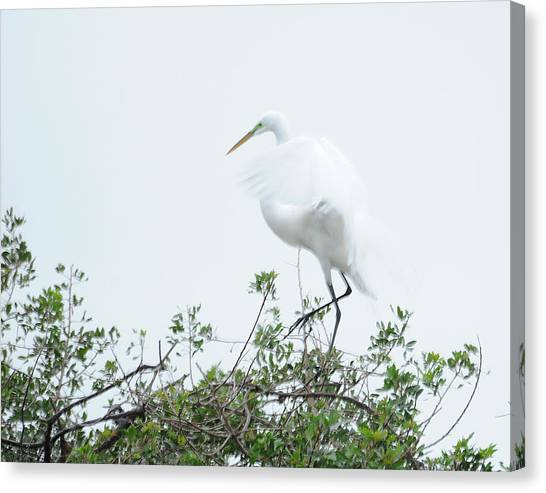 Egret Soft Landing Canvas Print by Keith Lovejoy