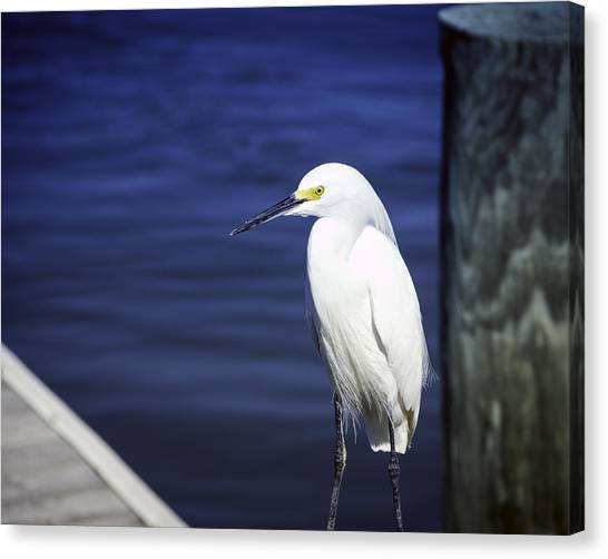 Canvas Print featuring the photograph Egret Standing Tall by William Havle